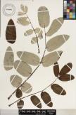 Polyscias racemosa